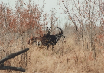 Sable Antilope